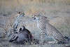 Cheetah_At_Kill_Elephant_Pepper_MaraNorth_2018_Kenya_0040