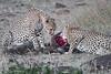 Cheetah_At_Kill_Elephant_Pepper_MaraNorth_2018_Kenya_0439