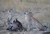 Cheetah_At_Kill_Elephant_Pepper_MaraNorth_2018_Kenya_0027