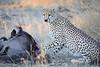 Cheetah_At_Kill_Elephant_Pepper_MaraNorth_2018_Kenya_0050