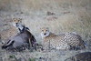 Cheetah_At_Kill_Elephant_Pepper_MaraNorth_2018_Kenya_0003