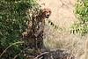 Cheetah_Mara_Reserve_2018_Kenya_0030