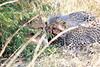 Cheetah_Mara_Reserve_2018_Kenya_0009