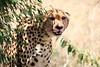 Cheetah_Mara_Reserve_2018_Kenya_0032