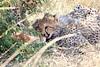 Cheetah_Mara_Reserve_2018_Kenya_0018