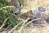 Cheetah_Mara_Reserve_2018_Kenya_0025