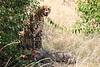 Cheetah_Mara_Reserve_2018_Kenya_0033
