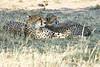 Cheetah_Mara_Reserve_2018_Kenya_0066