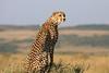 Cheetah_Mara_Reserve_2018_Kenya_0006