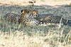 Cheetah_Mara_Reserve_2018_Kenya_0067