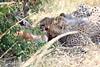 Cheetah_Mara_Reserve_2018_Kenya_0022