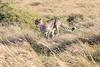 Cheetah_Mara_Reserve_2018_Kenya_0004