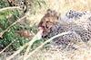 Cheetah_Mara_Reserve_2018_Kenya_0014