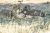 Cheetah_Mara_Reserve_2018_Kenya_0064