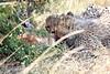 Cheetah_Mara_Reserve_2018_Kenya_0021