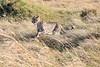Cheetah_Mara_Reserve_2018_Kenya_0005