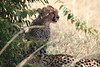 Cheetah_Mara_Reserve_2018_Kenya_0007