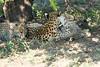 Cheetah_Mara_Reserve_2018_Kenya_0113