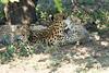 Cheetah_Mara_Reserve_2018_Kenya_0114