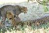 Cheetah_Mara_Reserve_2018_Kenya_0182