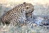 Cheetah_Mara_Reserve_2018_Kenya_0052