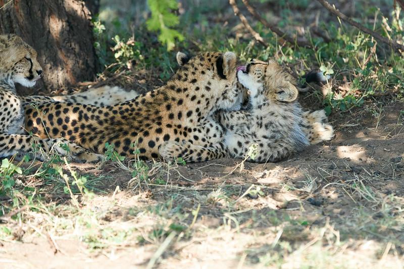 Cheetah_Mara_Reserve_2018_Kenya_0105