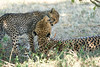 Cheetah_Mara_Reserve_2018_Kenya_0178