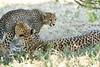 Cheetah_Mara_Reserve_2018_Kenya_0180