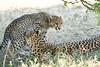 Cheetah_Mara_Reserve_2018_Kenya_0183