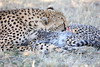 Cheetah_Mara_Reserve_2018_Kenya_0050