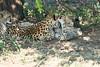 Cheetah_Mara_Reserve_2018_Kenya_0106