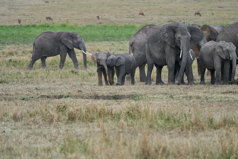 Elephant_Families_Marsh_Tangulia_Mara_Reserve_2018_Kenya_0073