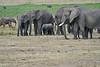 Elephant_Families_Marsh_Tangulia_Mara_Reserve_2018_Kenya_0030