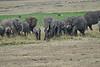 Elephant_Families_Marsh_Tangulia_Mara_Reserve_2018_Kenya_0025