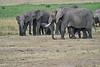 Elephant_Families_Marsh_Tangulia_Mara_Reserve_2018_Kenya_0032