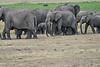 Elephant_Families_Marsh_Tangulia_Mara_Reserve_2018_Kenya_0034