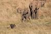 Elephants_Confront_Hyena_Rekero_Mara_Reserve_2018_Kenya_0027