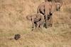 Elephants_Confront_Hyena_Rekero_Mara_Reserve_2018_Kenya_0025