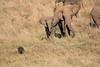 Elephants_Confront_Hyena_Rekero_Mara_Reserve_2018_Kenya_0036