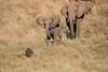 Elephants_Confront_Hyena_Rekero_Mara_Reserve_2018_Kenya_0031