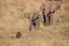 Elephants_Confront_Hyena_Rekero_Mara_Reserve_2018_Kenya_0029