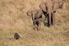 Elephants_Confront_Hyena_Rekero_Mara_Reserve_2018_Kenya_0034