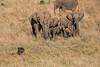 Elephants_Confront_Hyena_Rekero_Mara_Reserve_2018_Kenya_0015