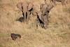 Elephants_Confront_Hyena_Rekero_Mara_Reserve_2018_Kenya_0001