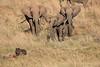 Elephants_Confront_Hyena_Rekero_Mara_Reserve_2018_Kenya_0008