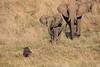 Elephants_Confront_Hyena_Rekero_Mara_Reserve_2018_Kenya_0032