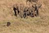 Elephants_Confront_Hyena_Rekero_Mara_Reserve_2018_Kenya_0014