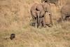 Elephants_Confront_Hyena_Rekero_Mara_Reserve_2018_Kenya_0024