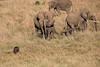 Elephants_Confront_Hyena_Rekero_Mara_Reserve_2018_Kenya_0020