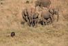Elephants_Confront_Hyena_Rekero_Mara_Reserve_2018_Kenya_0017